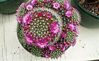 Cactus mix - Mammilaria