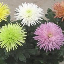 Chrysanthema Anastasia