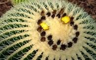 Echinocactus grusoni velký