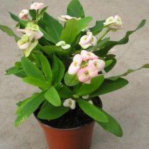 Euphorbia milli vulcanus