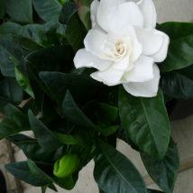 Gardenia jasminoides- menší