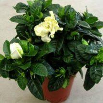 Gardenia jasminoides - vetší