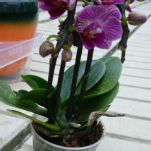 Phalenopsis mini