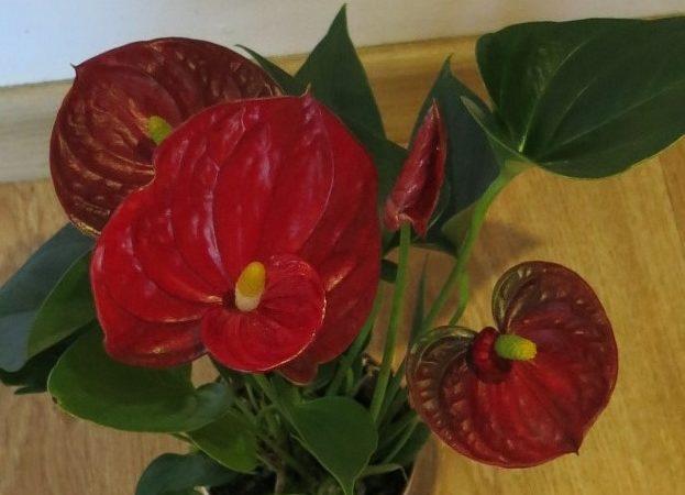 Valentýnská nabídka  Anthurium – červené srdce