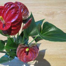 Anthurium červené srdce